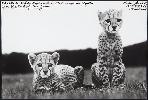 Peter Beard, Cheetah Cubs, 1968