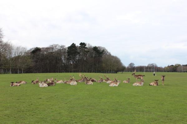 I cervi al Phoenix Park, Dublino (Irlanda)